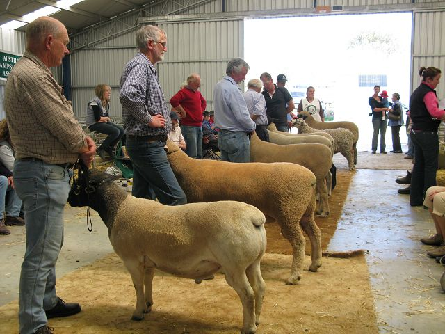 Deloraine Show sheep judging
